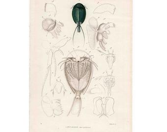 1836 ANTIQUE SEA LIFE engraving crustacean original antique sea life ocean print of apus allonge