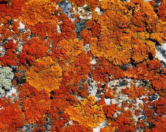 Lichen photo, orange lichen art, nature decor, botanical art, nature print, rock art, rustic wall decor, kitchen wall art, nature photo