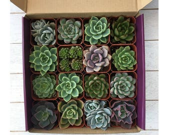 Succulents Gift Box-Variety of Small Succulents-Gardener Gift-16 Succulent Collection Pack-Purple Gift-Birthday Gift-Hostess Gift
