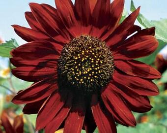 Heirloom Sunflower Velvet Queen Flower Seed Garden Organic Non Gmo