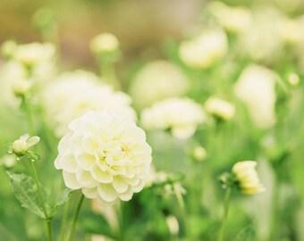 Flower Photography - Dahlia Photography - Garden Photo - Fall Photo - Flowers - Fine Art Photography Print - White Green Home Decor