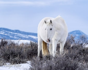 Wild Mustang 10x14 Metal Print - Wild Horse Mystic, wild mustang winter photography, snow, wild mare in the snow, white horse