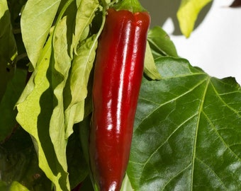 "Anaheim NuMex Joe E Parker Chile Pepper Plant - 4"" Pot"