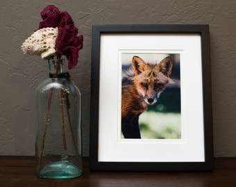 5x7 photographic fox print, framed and matted