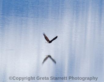 Bald Eagle Takes Flight Over Turnagain Arm in Alaska