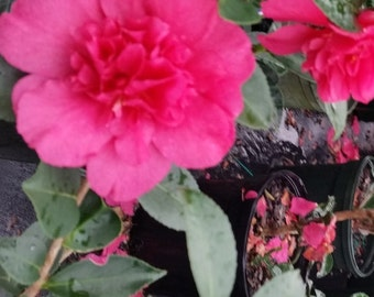 Alabama Beauty Camellia Sasanqua - Live Plant - Full Gallon Pot