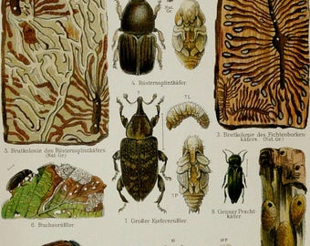 1897 Antique lithograph of INSECTS. BEETLES. COLEOPTERA. Larves. Entomolgy. 121 years old print