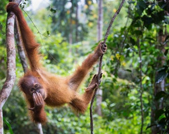Baby Orangutan - Bukit Lawang Sumatra