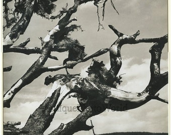 Tree branches Czech vintage photo by V. Hanzl