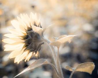 Sunflower Photography, Gray and Yellow Wall Art, Yellow Sunflower, Navy Wall Decor, Flower Photography, Nature Print, Floral Decor
