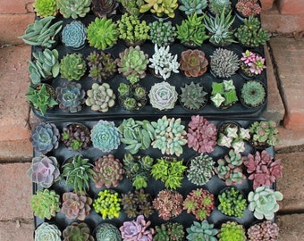 """24 AMAZING Assorted Succulents in their 2.5"""" round containers Ideal for Wedding FAVORS party gifts Echeverias+"""