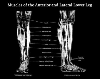 Muscles of the Lower Leg Anterior and Lateral View - Art Print - Poster - Medical Office - Teaching Hospital - Anatomy Art - Med Student Art