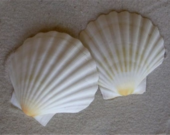 White English Scallop Shells