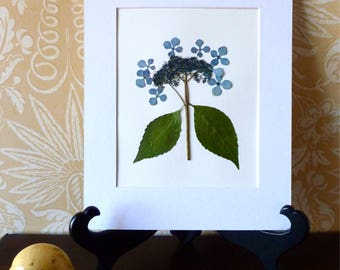 Real Pressed Flower Art Pressed Botanical Art Herbarium of Bluebird Blue Hydrangea 11x14