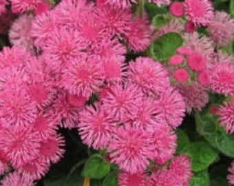 Ageratum Pink Puffs Flower Seeds / Annual  50+