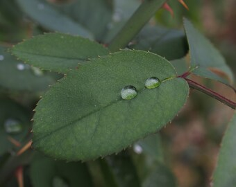 Raindrops on a leaf.
