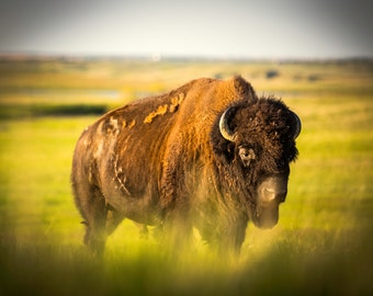 Bubba the Bison - Wildlife Photography - Rustic Home Decor Print - SELLER FAVORITE