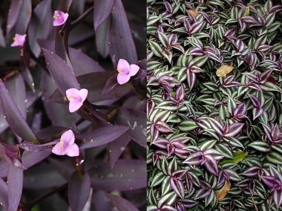 2 types pretty purple wandering jew indoor outdoor house for Easy care outdoor plants