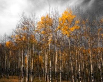Aspen trees fall photo, Colorado aspen wall art, fall trees photo, log cabin decor, fine art photography, rustic wall art, nature | Stormy
