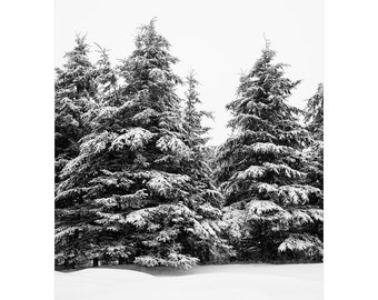 Black and white winter evergreen trees photograph. Large pine trees print. Nature photography for living room. Snow lover gift for new home.
