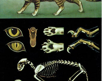 Old School Poster Zoology 1990 Jung-Koch-Quentell Mammals Cat Anatomy Skeleton