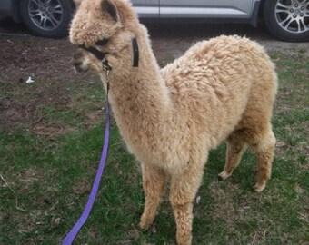 Medium fawn alpaca fiber raw fleece wool huacaya super soft ready to rove & spin 1 pound