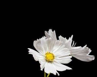 White Cosmos Flower, Botanical Home Decor, Nature Wall Art Prints - Floral Photograph, Nature Photography, Black and White, Pale Yellow Art