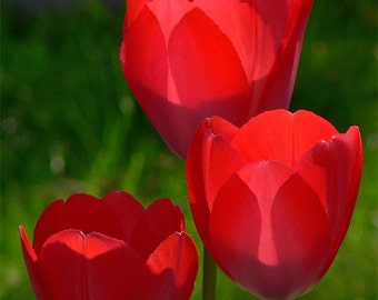 Red Tulips 5x7 Fine Art Photograph