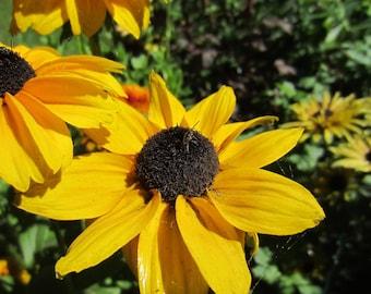 Black Eyed Susan 1000 Seeds rudbeckia hirta Buy 2 Get 1 Free Indian Summer  #23