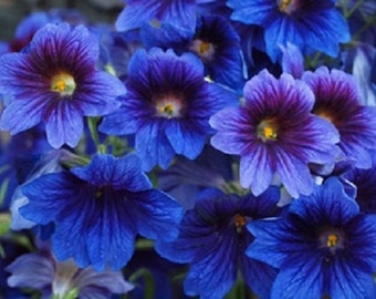 Blue Stained Glass Flower Seeds / Salpiglossis / Annual  20+