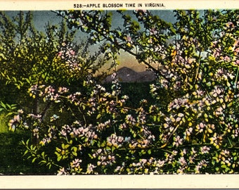 Virginia, Apple Blossoms, Apple Orchard - Vintage Postcard - Postcard - Unused (MMM)