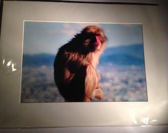 """A Cosmopolitan Monkey - Mounted Wildlife Photo Print (16"""" x 12"""")"""
