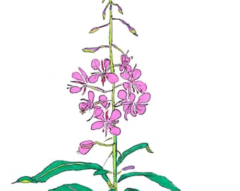 Fireweed, fine art print, illustration, wildflower, flower, nature, picture, whimsical flower, floral art print, bright print, pretty flower