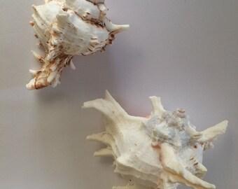 Beautiful Large Pair of Lace Murex Seashells
