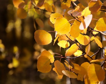 Aspen Tree Art, fall decor, fall leaves photo, yellow gold leaves, rustic wall decor, cabin art, aspen trees, Colorado | Gold Aspen Leaves