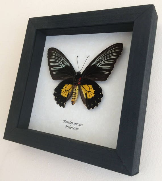 Real butterfly framed Troides species
