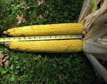 35 SA Giant  Yellow Corn Seed-1244