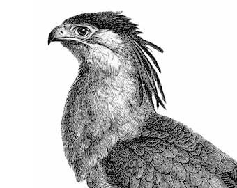 Secretary Bird Vintage Style Art Print Black and White Grey