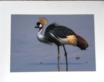 Grey Crowned Crane  - A3 Photo Mounted/Framed