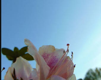 Light Pink Flower with Blue Sky Photo