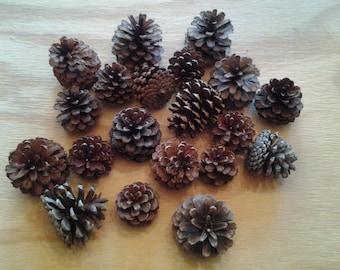 20 Norway Pine Cones
