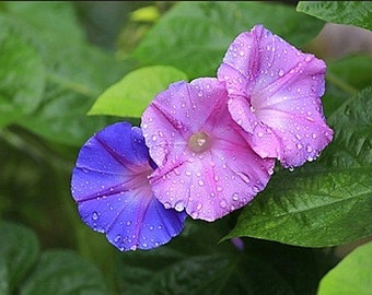 Organic Morning Glory Flower Mixed Colors Heirloom Seeds