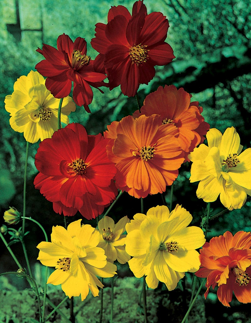 Cosmos flowers seeds cosmos sulphureus seeds bright lights zoom izmirmasajfo