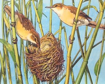 "Reed Warbler - 1962 Vintage Bird Print - British Birds and Nests - Naturalist Print for Framing - 9"" x 7.5"""