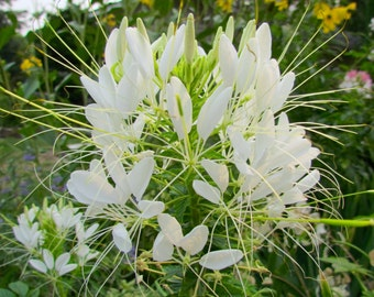White Spider Flower Seeds (Cleome houtteana or Cleome hassleriana)