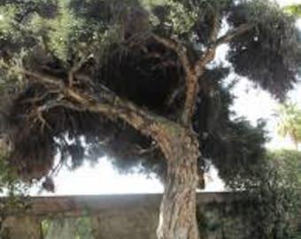 TS) TEA TREE~Seeds!!!~~~~~Evergreen Paperbark!!