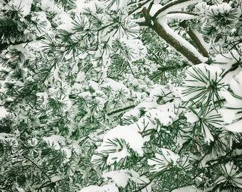 Evergreen Tree and Snow Scene: Colour Photograph Wall Decor