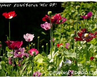 Papaver somniferum 'Garden Mix O.P.' 1500+ SEEDS