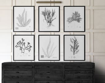 Seaweed Art : 1859 Botanical Seaweed Print Collection  - Botanial Prints - Botanical Set - Seaweed Prints - Nautical Decor