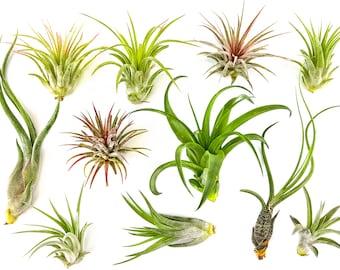10 Pc Air Plant Tillandsia Assorted / Wholesale Air Plants / Bulk Air Plants
